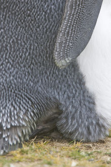 Falkland Islands, Volunteer Point. A juvenile king penguin peeks out from under its