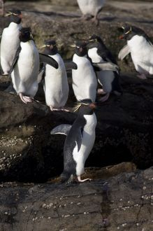 Falkland Islands, West Falkland, Saunders Island. Southern Rockhopper penguins (wild