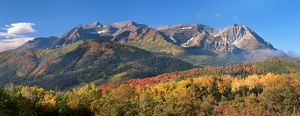 Fall Aspen trees and Maples. Mt. Timpanogos Pano, Wasatch Mountains, Utah