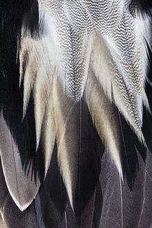 Back feathers of the Northern Pintail Duck