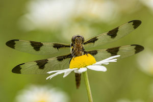 usa/kentucky/female blue dasher dragonfly daisy pachydiplax
