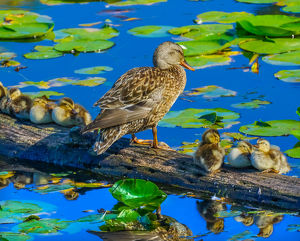 usa/female mallard duck baby ducks juanita bay park