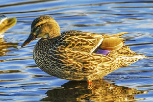 usa/female mallard duck juanita bay park kirkland