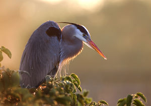 florida wakodahatchee great blue heron perches