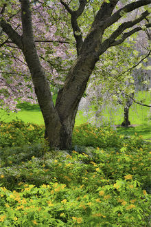 usa/flowering pink cherry trees base yellow primroses