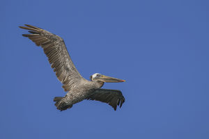 Flying Pelican. Half Moon Bay, California