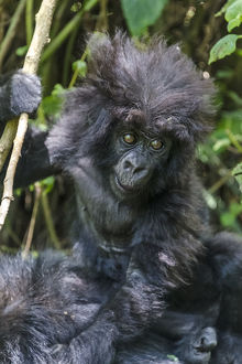 Gorilla mother with 6-month-old baby in the forest, Parc National des Volcans, Rwanda