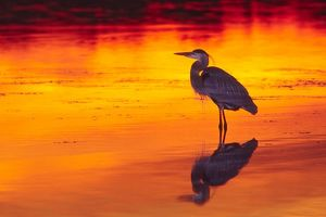 great blue heron ardea herodias fishing sunset