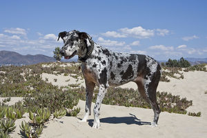 A Great Dane standing in sand at the Ventura Beach in California