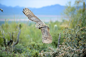 The great horned owl (Bubo virginianus), also known as the tiger owl, is a large