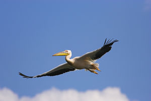Great White Pelican (Pelecanus onocrotalus) flying in the Danube Delta. Europe