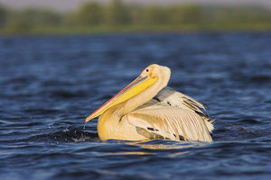 Great White Pelican (Pelecanus onocrotalus) in the Danube Delta