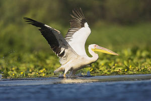 Great White Pelican (Pelecanus onocrotalus) in the Danube Delta taking off for flight