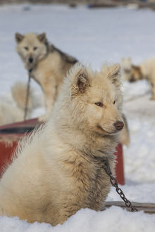 Greenland, Disko Bay, Ilulissat, Greenland Sled Dogs, canis lupis familiaris