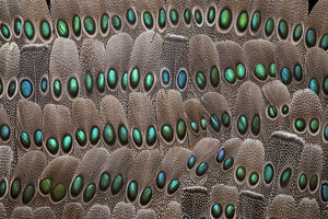 grey peacock tail feathers