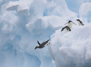 A group of adelie penguins leap off the edge of the iceberg they were resting