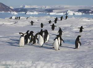 A group of adelie penguins loaf on sea ice near their colony on Devil Island
