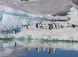 A group of adelie penguins run along the edge of an iceberg and jump into the sea