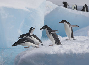A group of adelie penguins run towards the edge of the iceberg they are resting