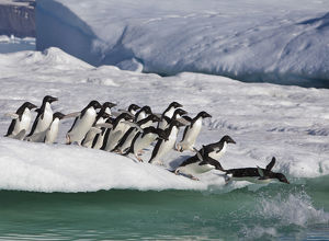 A group of adelie penguins rush to the edge of an iceberg to jump into the sea, near
