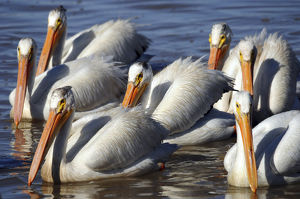 Group of Ameican White Pelicans, Summer Lake, National Wildlife Refige, Oregon, USA