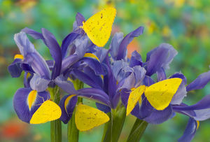 Group of Sulphur Butterflies in the Phoebis family on Dutch Iris