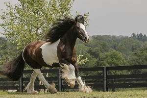 usa/kentucky/gypsy vanner horse running crestwood ky