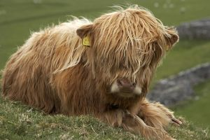 Highland cow near Malham, Yorkshire Dales, North Yorkshire, England