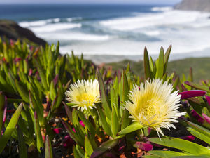 europe/ice plant hottentot fig highway ice pant pigface