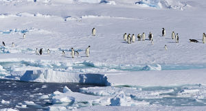 Ice Shelf, Antarctica. Emporer Penguins. Panoramic Composite