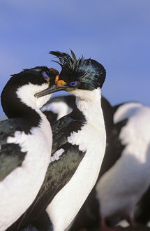 Imperial Shag or King Shag (Phalacrocorax atriceps albiventer) on the Falkland Islands
