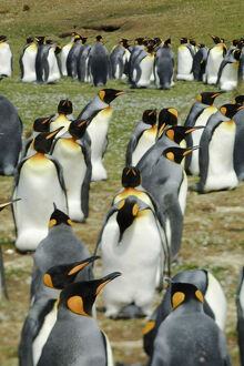 King Penguin, Aptenodytes patagonica, in colonies in the Falkland Islands, Antarctica