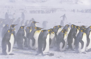 King Penguin (Aptenodytes patagonica) colony in snow during snowstrom, St. Andrews Bay