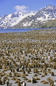 King Penguin (Aptenodytes patagonica) colony on beach with lots of chicks, St. Andrews Bay