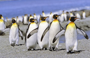 King Penguin (Aptenodytes patagonica) group of adults marching to the colony on beach, St