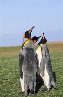 King Penguin (Aptenodytes patagonica) group near the colony at Volunteer Point