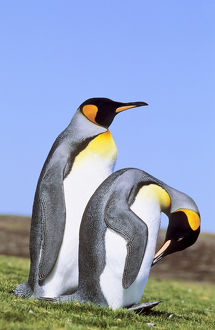 King Penguin (Aptenodytes patagonica) pair near the colony at Volunteer Point
