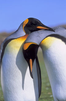 King Penguin (Aptenodytes patagonica) pair preparing for mating near the colony at