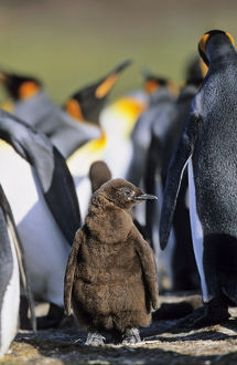King Penguin (Aptenodytes patagonica) chick is waiting for parents left alone in
