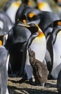 King Penguin (Aptenodytes patagonica) chick is begging for food and is fed subsequently