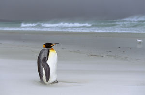King Penguin (Aptenodytes patagonica) is resting on stormy weather with sandstorm