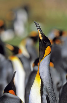 King Penguin (Aptenodytes patagonica) trumpeting in the colony at Volunteer Point