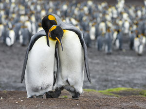 King Penguin (Aptenodytes patagonicus) on the Falkand Islands in the South Atlantic
