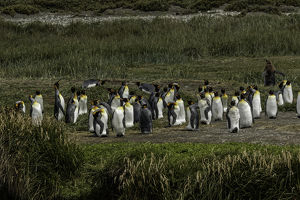 King Penguin colony, Useless Bay, Tierra del Fuego, Chile, South AmericaPatagonia