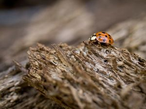 Ladybug on old wood, Apalachicola Bluffs and Ravines Preserve, near Apalachicola River