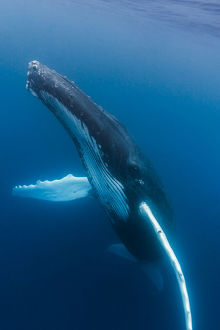 A large humpback whale ascends through the clear blue of the Silver Bank, Dominican