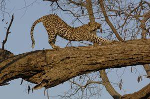 Leopard (Panthera pardus) Female stretching after relaxing on the branch of a tree