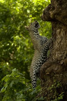 Leopard, Panthera pardus, hunting monkeys in the tops of trees. Masai Mara, Kenya