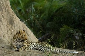 Leopard (Panthera pardus) Male lying next to termite mound. Mombo area, Chief's Island