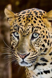 The leopard (Panthera pardus) is an Old World mammal of the Felidae family and the